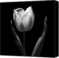Black And White Digital Art Digital Art Canvas Prints - Dancing in the Moonlight - Black And White Tulip Macro Flower Photograph Canvas Print by Artecco Fine Art Photography - Photograph by Nadja Drieling