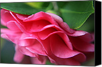 Photography - Floral Canvas Prints - Dancing Petals of the Camellia Canvas Print by Enzie Shahmiri
