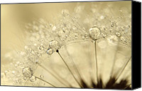 Abstract Water Canvas Prints - Dandelion Drops Canvas Print by Sharon Johnstone