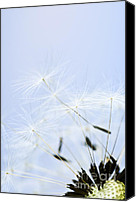 Weed Canvas Prints - Dandelion Canvas Print by Elena Elisseeva