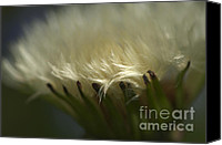 Invasive Canvas Prints - Dandelion Glow Canvas Print by Sharon  Talson