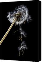 Weed Canvas Prints - Dandelion loosing seeds Canvas Print by Garry Gay