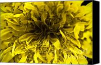 (c) 2010 Canvas Prints - Dandelion Canvas Print by Ryan Kelly