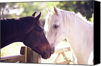 Horse Standing Canvas Prints - Dark Bay And Gray Horse Sniffing Each Other Canvas Print by Sasha Bell