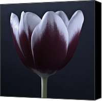 Greeting Cards Mixed Media Canvas Prints - Dark Purple Tulip - Tulips Macro Flowers Fine Art Photography Canvas Print by Artecco Fine Art Photography - Photograph by Nadja Drieling