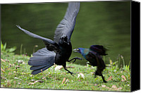 Black Birds Canvas Prints - Davey and Goliath Canvas Print by Karol  Livote