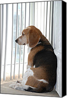 Beagle Canvas Prints - Daydreaming Canvas Print by Jennifer Lyon