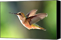 Ruby Throated Canvas Prints - Delicate Delight Canvas Print by Bill Pevlor
