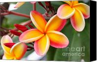 Plumeria Canvas Prints - Delicate Plumeria Canvas Print by Brian Governale