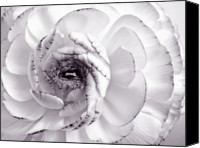 Closeup Mixed Media Canvas Prints - Delicate - White Rose Flower Photograph Canvas Print by Artecco Fine Art Photography - Photograph by Nadja Drieling