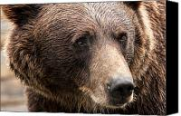 Whalen Photography Canvas Prints - Denali Brown Bear Canvas Print by Josh Whalen