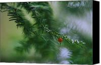 Chromatic Contrasts Canvas Prints - Detail Of Yew Bough With One Red Berry Canvas Print by Mattias Klum