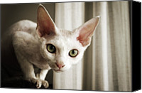 Israel Canvas Prints - Devon Rex Cat Looking At Camera Canvas Print by Troydays