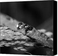 Raining Canvas Prints - Dew to Drought Black and White 02 Canvas Print by Karen Musick