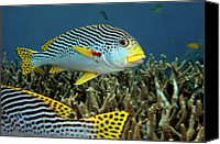Lined Canvas Prints - Diagonal Banded Sweet Lips In Great Barrier Reef Canvas Print by James R.D. Scott