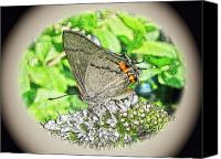Pudica Canvas Prints - Digital Gray Hairstreak Butterfly - Strymon melinus pudica Canvas Print by Carol Senske