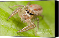 Invertebrate Canvas Prints - Dimorphic Jumper I Canvas Print by Clarence Holmes