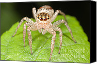 Invertebrate Canvas Prints - Dimorphic Jumper II Canvas Print by Clarence Holmes