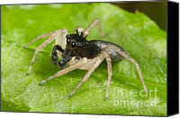 Animalia Canvas Prints - Dimorphic Jumper III Canvas Print by Clarence Holmes