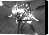 Jd Grimes Canvas Prints - Dioscorea in black-and-white Canvas Print by JD Grimes