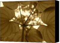 Jd Grimes Canvas Prints - Dioscorea in sepia Canvas Print by JD Grimes