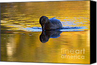 Waterfowl Canvas Prints - Dipping in Gold Canvas Print by Mike  Dawson