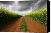 Rapeseed Canvas Prints - Dirt Track through red soil in a Rapeseed flower field Canvas Print by Mark Stokes