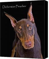 Pinscher Canvas Prints - Doberman Pinscher Canvas Print by Larry Linton