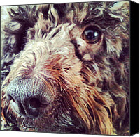 Children Photo Canvas Prints - #dog #poodle #children #chocolate Canvas Print by Jake Delmonte