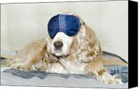 Dog Bed Photo Canvas Prints - Dog with a sleep mask Canvas Print by Mats Silvan