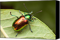 Invertebrate Canvas Prints - Dogbane Beetle Canvas Print by Clarence Holmes