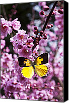 Yellow Canvas Prints - Dogface butterfly in plum tree Canvas Print by Garry Gay