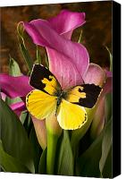 Delicate Canvas Prints - Dogface butterfly on pink calla lily  Canvas Print by Garry Gay