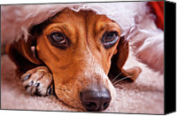 Beagle Canvas Prints - Dogs In Santa Hat Canvas Print by Rich Johnson of Spectacle Photo