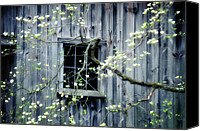 Window And Doors Canvas Prints - Dogwood Blossoms  Canvas Print by Thomas Schoeller