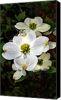Flower Images Canvas Prints - Dogwood Canvas Print by Skip Willits