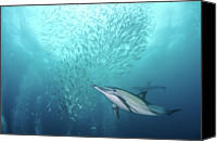 Sea Animals Canvas Prints - Dolphin Canvas Print by Alexander Safonov