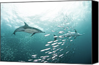 Dolphin Canvas Prints - Dolphins Canvas Print by Alexander Safonov