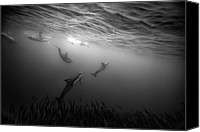 Dolphin Canvas Prints - Dolphins Re-grouping Afterorchestrated Attack Canvas Print by Paul Cowell Photography