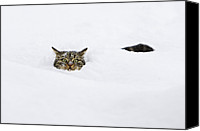 Animals And Earth Canvas Prints - Domestic Cat Felis Catus In Deep Snow Canvas Print by Konrad Wothe
