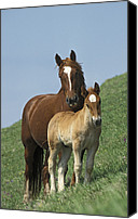 Family Farm Canvas Prints - Domestic Horse Equus Caballus Mare Canvas Print by Konrad Wothe