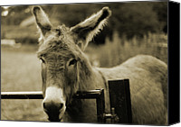 Donkey Canvas Prints - Donkey Canvas Print by Dyker_the_horse_1976