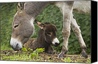Bayern Canvas Prints - Donkey Equus Asinus Adult With Foal Canvas Print by Konrad Wothe