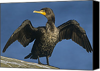 Color Stretching Canvas Prints - Double Crested Cormorant Drying Canvas Print by Tim Fitzharris