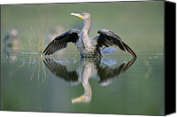 Color Stretching Canvas Prints - Double Crested Cormorant Stretching Canvas Print by Tim Fitzharris