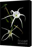 Spider Lily Canvas Prints - Double Spider Lily Canvas Print by M K  Miller