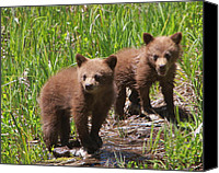 Black Bear Cubs Canvas Prints - Double Trouble Canvas Print by Bruce J Robinson
