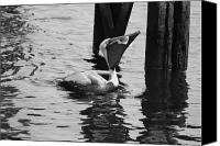 Critter Canvas Prints - Down the Hatch in Black and White Canvas Print by Suzanne Gaff