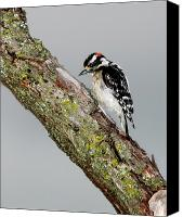 Downy Canvas Prints - Downy Woodpecker Canvas Print by Betty LaRue