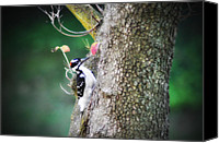 Downy Canvas Prints - Downy Woodpecker Canvas Print by Bill Cannon